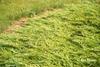 Juniperus sabina 'Skandia'
