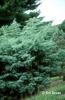 Juniperus scopulorum 'Table Top'