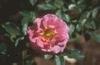 Rosa 'JACbow'