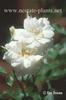 Rosa 'JACarch'
