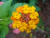 Lantana camara 'Miss Huff' in late summer/ fall in Moore County