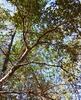 laurel oak skdavidson