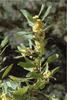 leaves of Laurus nobilis