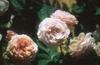 Rosa 'AUSlea'