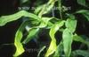 Lepisorus bicolor