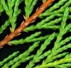 × Cupressocyparis leylandii