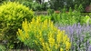 Planted with baptisia and catnip