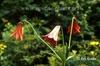 Lilium grayi