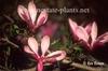 Magnolia hybrids