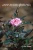Rosa 'MOORcar'