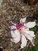 Flower 'Leonard Messel'