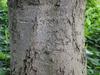 Magnolia virginiana var australis 'Henry Hicks' bark