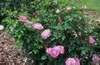 Rosa 'AUSmary'