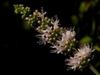 Mentha spica flower