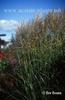 Miscanthus sinensis 'Sarbonde'