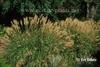 Miscanthus sinensis 'Yaku Jima'