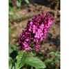 Buddleja 'Miss Molly'