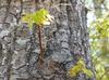mockernut hickory form in spring brunswick park skdavidson