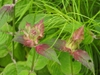 Monarda 'Raspberry Wine' finshed flowers