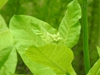 Nicotiana sylvestris leaf