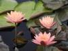 Nymphae 'Wanvisa' flowers