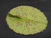 Nymphaea 'Joe Cutak' leaf