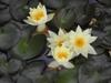 Nymphaea 'Pygmaea Helvola' flowers