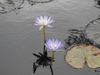 Nymphaea 'Star of Siam' flower