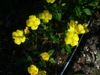 Oenothera fruticosa flower in summer in Moore County