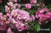 Rosa 'Old Blush'