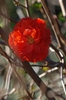 Double Take™ Chaenomeles speciosa 'Orange Storm'