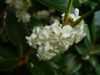 Osmanthus x fortunei in the fall in Moore County