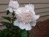 Paenonia lactiflora 'Raspberry Sundae' bloom.