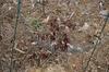 Paeonia lactiflora