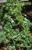 Parthenocissus heptaphylla