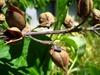 Paulowina tomentosa