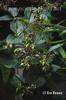 Periploca serpium