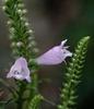 Physostegia virginiana flowers