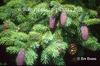 Picea likiangensis var. purpurea