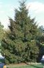 Picea orientalis