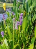 pickerel weed wilmington nc skdavidson