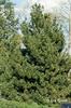Pinus heldreichii