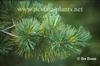 Pinus monticola