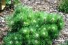 Pinus nigra 'Hornibrookiana'