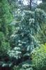 Pinus strobus 'Pendula'