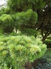 Pinus strobus 'nana' branch
