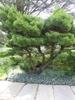 Pinus strobus 'nana' form summer
