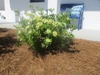 pittosporum compacta form in Wilmington, NC