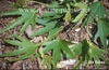 Platanus orientalis var. digitata