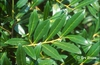 Prunus laurocerasus 'Zabeliana'